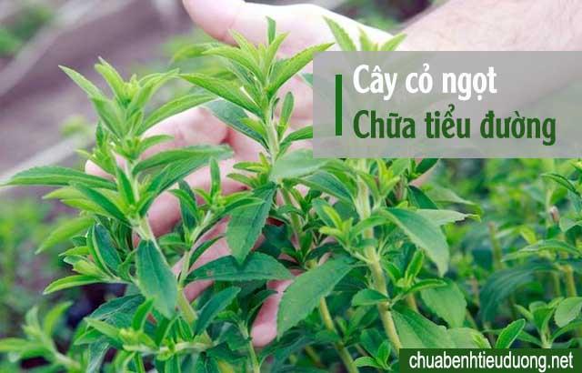 chữa bệnh tiểu đường bằng cây cỏ ngọt