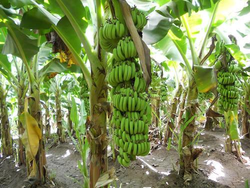 Điều trị bệnh tiểu đường bằng thân cây chuối tiêu