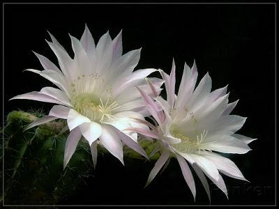 Cách chữa tiểu đường bằng hoa quỳnh trắng