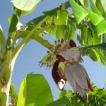Kinh nghiệm chữa bệnh tiểu đường từ rễ cây chuối già
